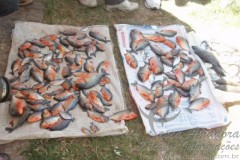 2000 kg de piranhas serao retiradas da barragem do bezerro no Piaui