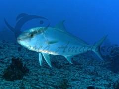 peixe-olho-de-boi