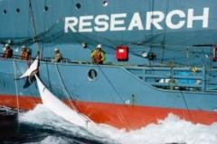 pesca de baleias continua no Japão