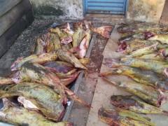 pescado-apreensao-pantanal