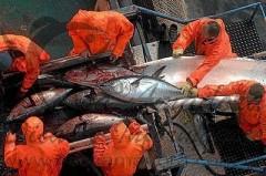 pesca-predatoria-atum-rabilho