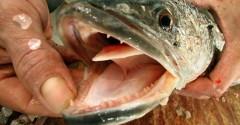 Peixe cabeça de cobra ameaça ecossistema de nova york