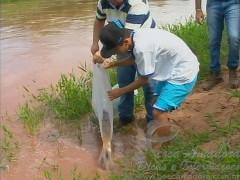 Alunos da escola Municipal de Mariapolis-SP soltam 12 mil alevinos no rio do peixe