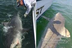 Americano pesca o mesmo tubarao um ano depois na Carolina do Sul-USA