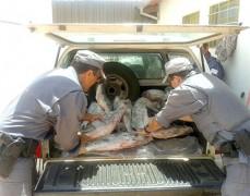 Apreensao de 400kg de pescado ilegal no Rio Grande-SP