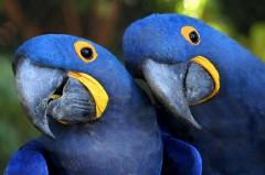 Arara Azul especie ameacada de extinção