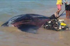 Arraia-jamanta presa em rede de pesca e salva por turistas e barraqueiros na Bahia 2