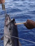 Atum com suposto chifre fisgado na Australia