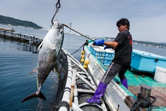 Atum criado em cativeiro sendo retirado
