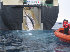 Baleeiro Japones recolhendo baleias abatidas