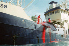 Baleeiros Japoneses abatem 333 baleias sendo 230 baleias femeas gravidas 2