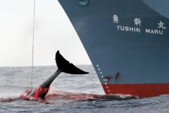 Baleeiros Japoneses abatem 333 baleias sendo 230 baleias femeas gravidas 3