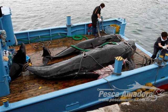 Baleeiros Japoneses abatem 333 baleias sendo 230 baleias femeas gravidas 5