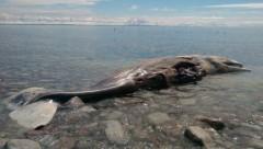 Baleia Cachalote de 12m apareceu morta na praia de Cape St. George