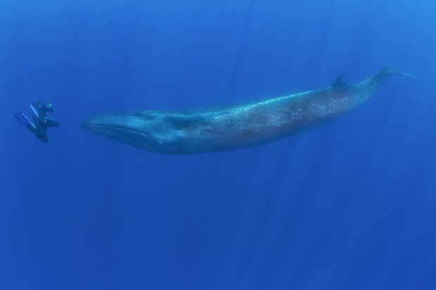 Baleia-Sei em encontro raro com mergulhador