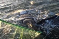 Baleia e filhote sao resgatados de rede de pesca em SC