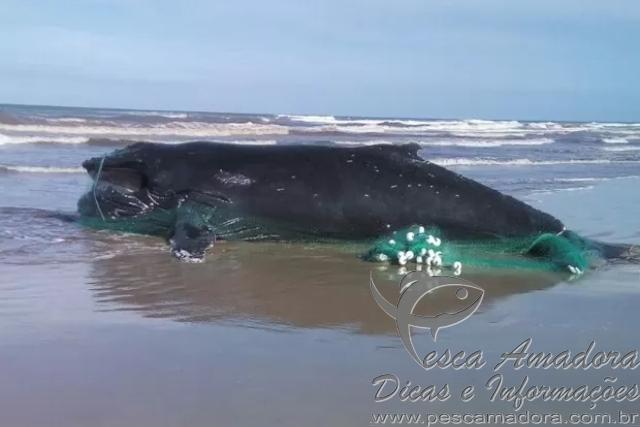 Baleia jubarte encontrada morta envolta em rede de pesca no RS