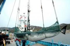 Baleia sendo desembarcada em porto no Japão