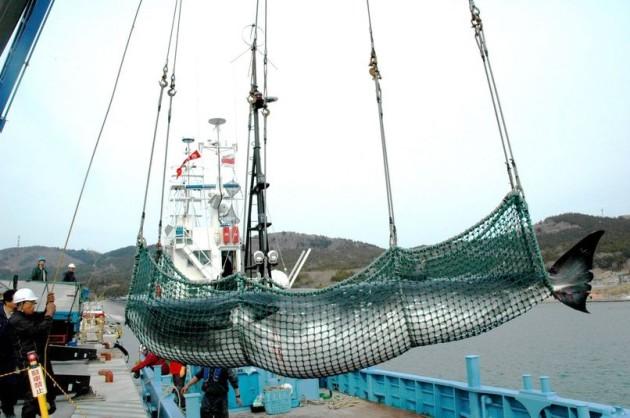 Baleia sendo desembarcada em porto no Japao
