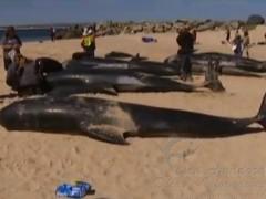 Baleias morrem em quebra mar na Australia