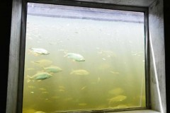 Belo Monte comeca uso de sistema de transposicao de peixes 2