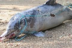 Boto cinza morto em rede de pesca no Rio de Janeiro-RJ