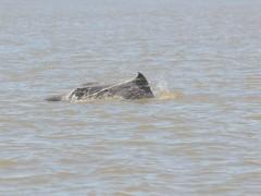 Boto e visto envolto em rede de pesca no RS