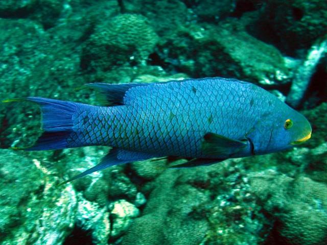 Budiao azul ameacados pela pesca excessiva