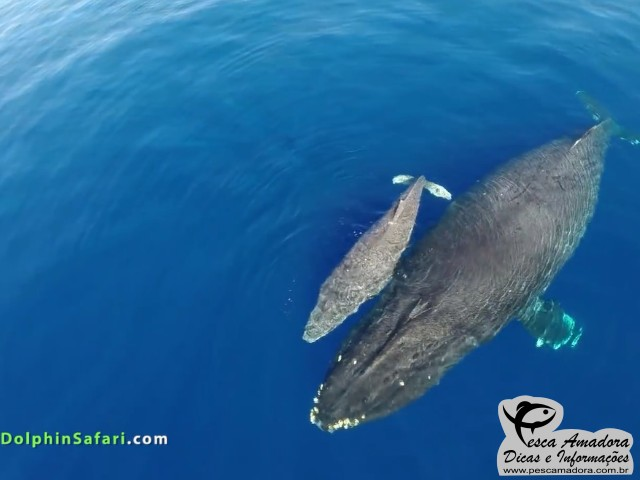 Capitao usa drone e grava imagens impressionantes de golfinhos e baleias