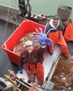 Caranguejo azul capturado no Alasca