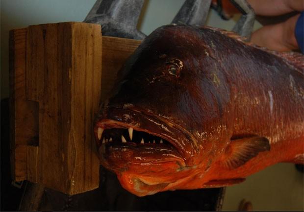 Caranha gigante pescada no Golfo do Mexico 2