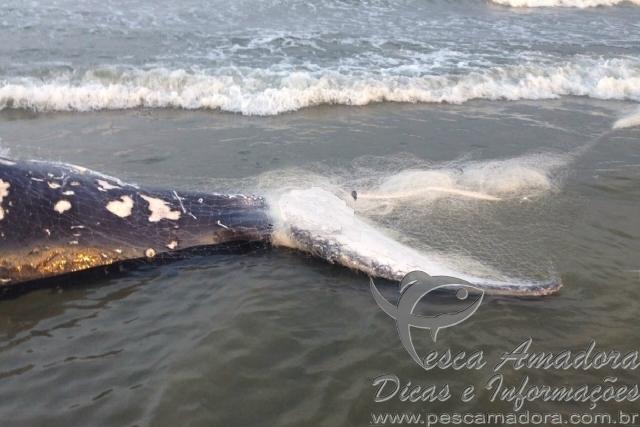 Carcaca de baleia encontrada no litoral de SC 2