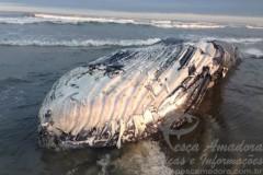 Carcaca de baleia encontrada no litoral de SC