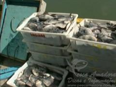 Carregamento de peixe Peroa no ES