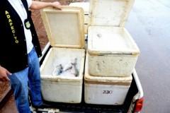 Cerca de 200 kg de pescado sao apreendidos no Lago de Palmas-TO 3