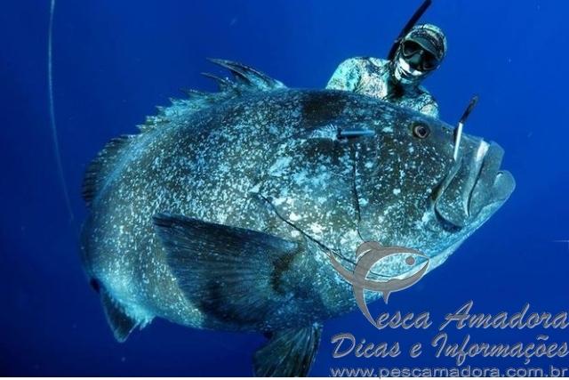 Cherne em caca submarina