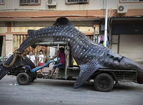 Chines e flagrado transportando tubarao baleia