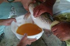 Codevasf produziu cerca de 3,5 milhoes de alevinos no semiarido pernambucano 3