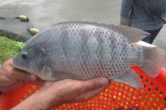 Comum no Brasil a tilapia e uma boa opcao de pesca com iscas diversas 2