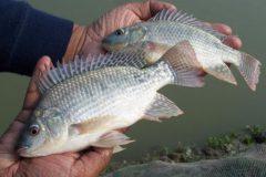 Comum no Brasil a tilapia e uma boa opcao de pesca com iscas diversas
