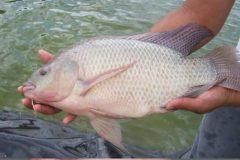 Comum no Brasil a tilapia e uma boa opcao de pesca com iscas diversas 3