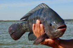 Comum no Brasil a tilapia e uma boa opcao de pesca com iscas diversas 5