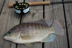 Comum no Brasil a tilapia e uma boa opcao de pesca com iscas diversas 6
