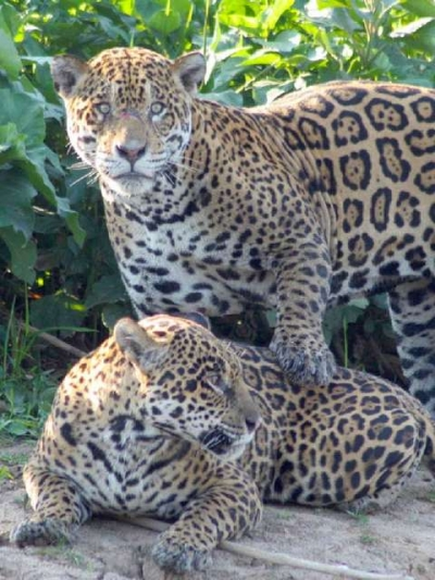 Cresce a populacao de oncas no Pantanal
