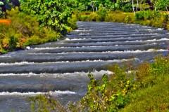 Curimba volta ao canal da piracema em Itaipu apos 6 anos 6
