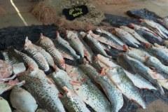 DEMA apreende 168 kg de pescado ilegal no Pantanal em MT