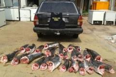 Dema apreende 172 kg pescado ilegal em Barao de Melgaco-MT