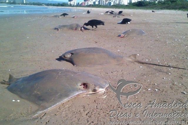 Dezenas de arraias sao encontradas mortas em orla de praia em Vitoria-ES 2