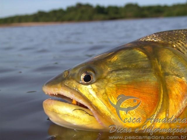 Dourado no Pantanal