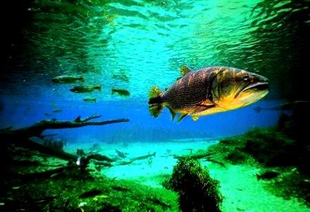 Dourado no rio da Prata - Pantanal